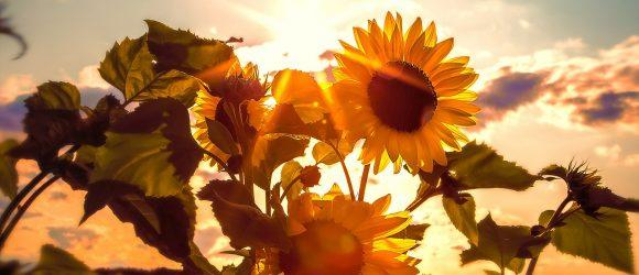 Žluté slunečnice